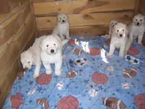 Picture of white Komondor puppies.