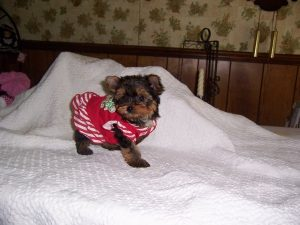 A Yorkie puppy with a Christmas outfit on.
