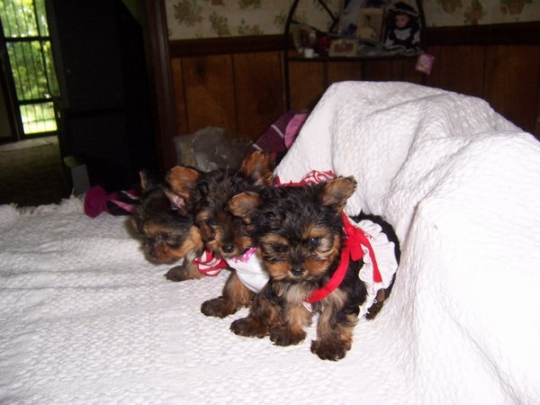 Yorkie Puppies & Yorkshire Terrier Breeder in Edmonton, KY