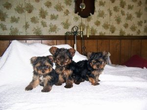 Yorkshire Terrier puppies on a bed.